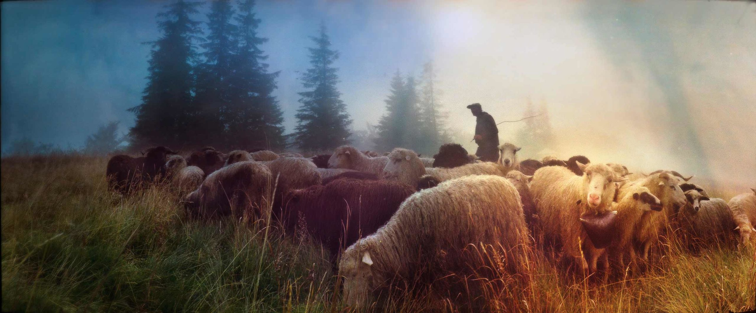 A man tends to his sheep in a field