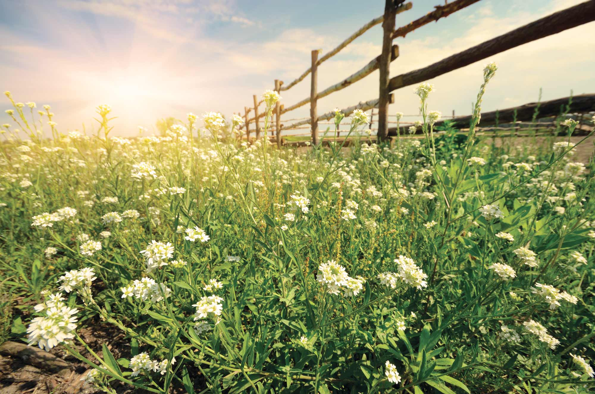 The sun peering through a field of flowers